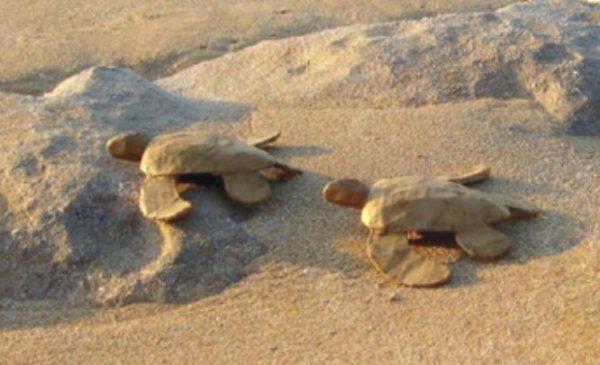 Biodegradable Turtle - Mini