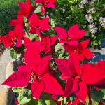 close up christmas flowers