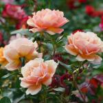 close up peachy roses at eco memorial park