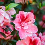 close up pink hibiscus at memorial gardens