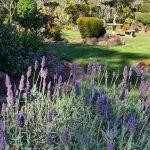 lavender plants at eco memorial park