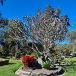 naked frangipani tree at eco memorial park