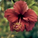 red hibiscus at memorial gardens gold coast