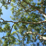 view of gum trees under blue sky